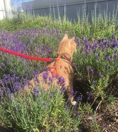 Orange Cat walking with a leash in lavender bushes