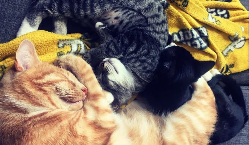 Cats cuddling together. kittens and a big orange cat
